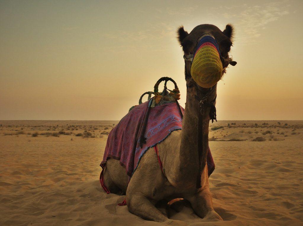 A dos de chameau à Dubaï