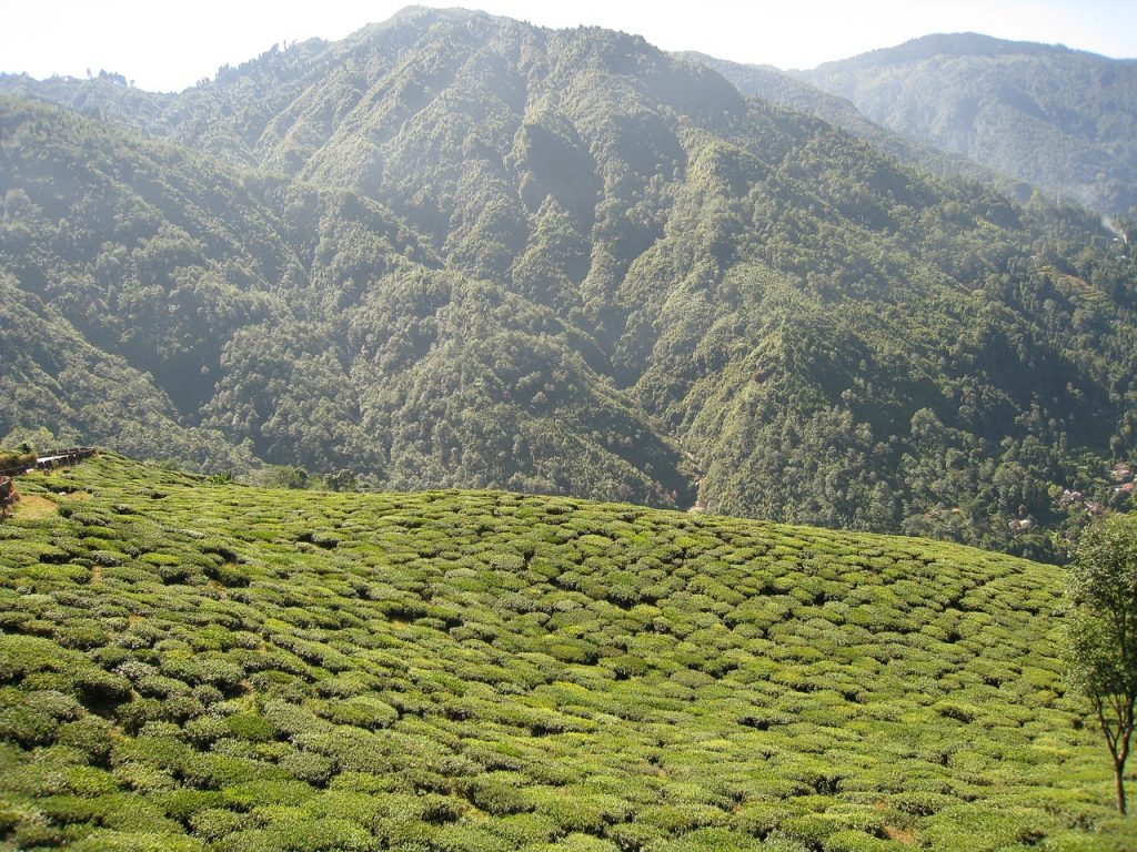Le Jardin du Thé Darjeeling en Inde
